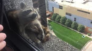Racoon Scaling Building