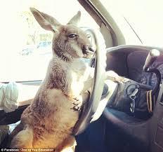 kangroo driving