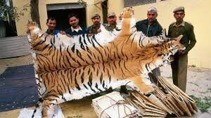 Poaching Tigers